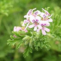 Αρμπαρόριζα (Pelargonium crispum)