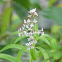 Λουίζα (Aloysia triphylla)
